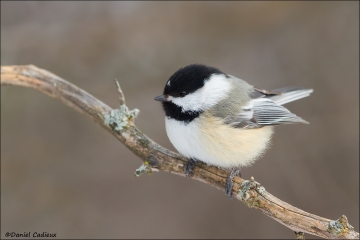 Black-capped_Chickadee_9723-14