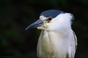 Black-crowned_Night-Heron_2131-15