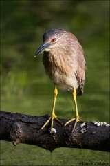 Black-crowned_Night-Heron_2816-17