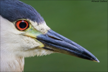 Black-crowned_Night-Heron_4552-17