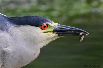 Black-crowned_Night-Heron_4607-17