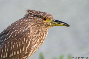 Black-crowned_Night-Heron_6223-13