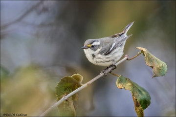 Black-throated-Gray-Warbler_1089-17