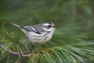 Black-throated-Gray-Warbler_1375-17