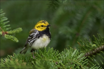 Black-throated Green Warbler_0223-18
