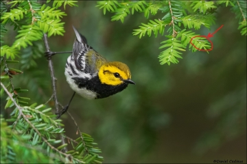 Black-throated Green Warbler_4677-18