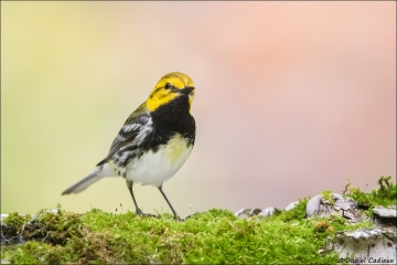 Black-throated Green Warbler_5550-18