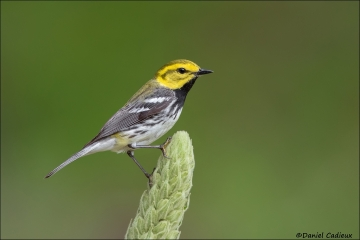 Black-throated_Green_Warbler_0560-16