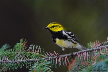 Black-throated_Green_Warbler_3460-14