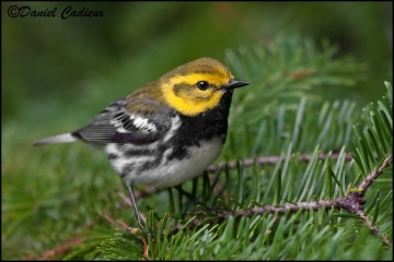 Black-throated_Green_Warbler_3604-09