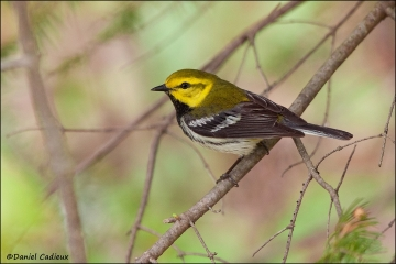 Black-throated_Green_Warbler_7244-11