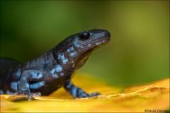 Blue-spotted Salamander_7834-17