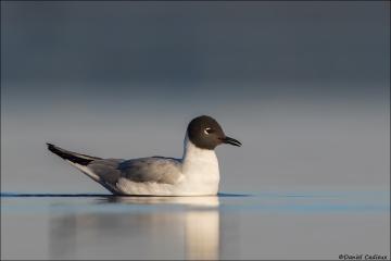 Bonaparte's Gull_8395-18