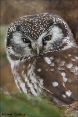 Boreal_Owl_1509-13