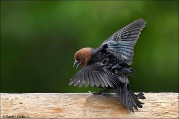 Brown-headed_Cowbird_6847-14