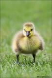 Canada_Goose_6549-15
