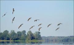 Canada_Goose_7898-11