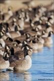 Canada_Goose_9533-14