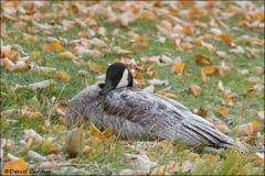 Canada_Goose_1361-11