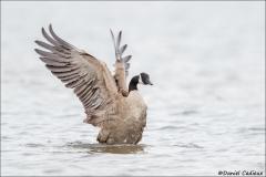 Canada_Goose_2272-16