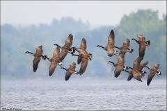Canada_Goose_4323-15