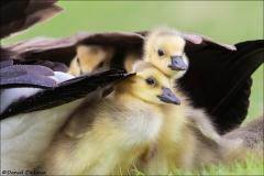 Canada_Goose_8440-17