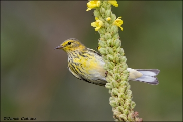 Cape_May_Warbler_2841-13
