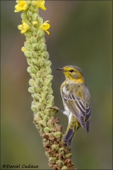 Cape_May_Warbler_2872-13