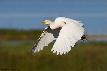 Cattle_Egret_5717-12