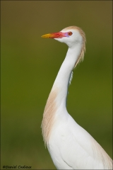 Cattle_Egret_5801-12