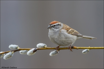 Chipping_Sparrow_9882-14