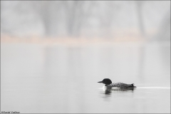 Common Loon_4367-18
