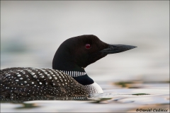 Common_Loon_0666-13