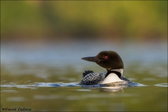 Common_Loon_1000-13