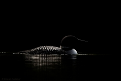 Common_Loon_5800-14