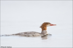 Common_Merganser_8145-13