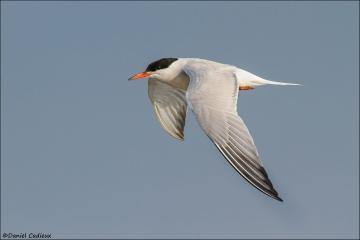Common_Tern_6245-15