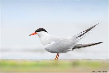 Common_Tern_6708-15