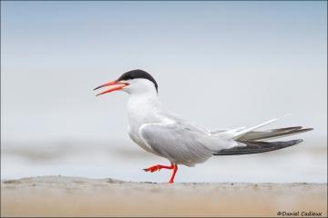 Common_Tern_6722-15