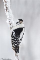 Downy Woodpecker_5344-18