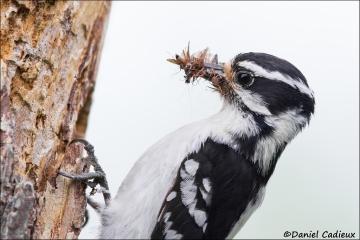 Downy_Woodpecker_4987-14