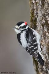 Downy_Woodpecker_6036-15
