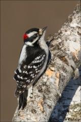 Downy_Woodpecker_8264-14