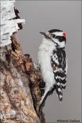 Downy_Woodpecker_9345-14