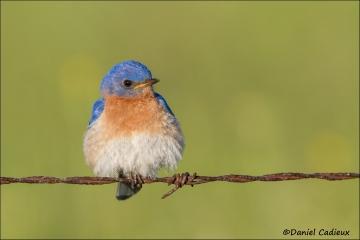 Eastern_Bluebird_0735-13