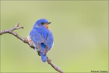 Eastern_Bluebird_2005-13