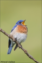 Eastern_Bluebird_2141-13