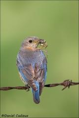 Eastern_Bluebird_5727-13