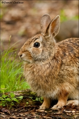 Eastern_Cottontail_4633-10