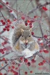 Eastern_Grey_Squirrel_8004-15